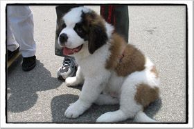 Husky St Bernard Mix For Adoption